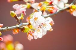 DSC_00891-600x401桜2