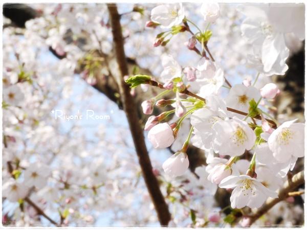 桜さんぽ①