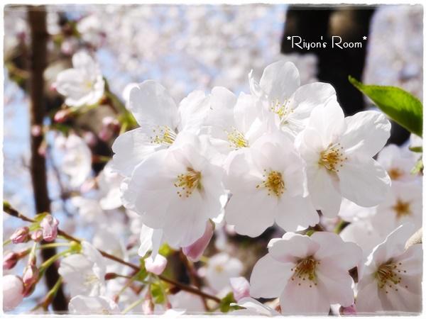桜さんぽ③