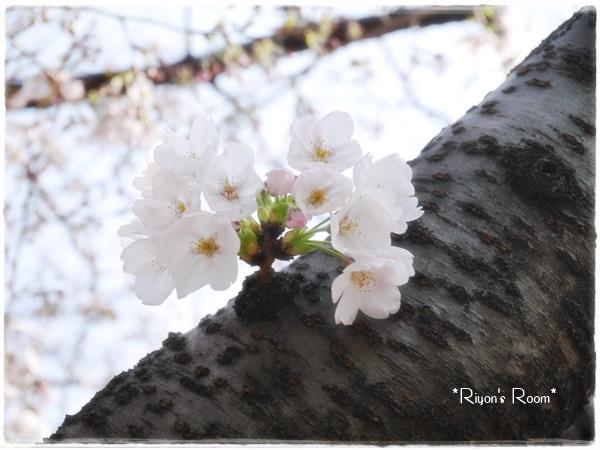 桜さんぽ⑤