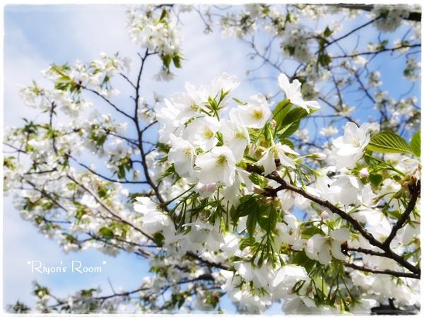 桜とリフト①