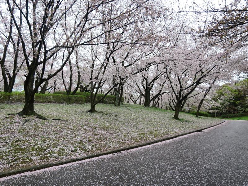 桜3170411