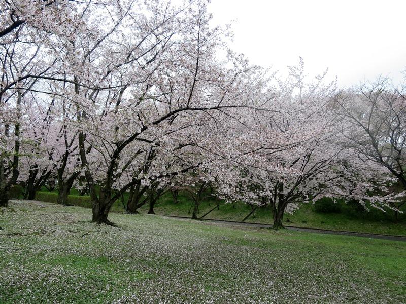 桜4170411