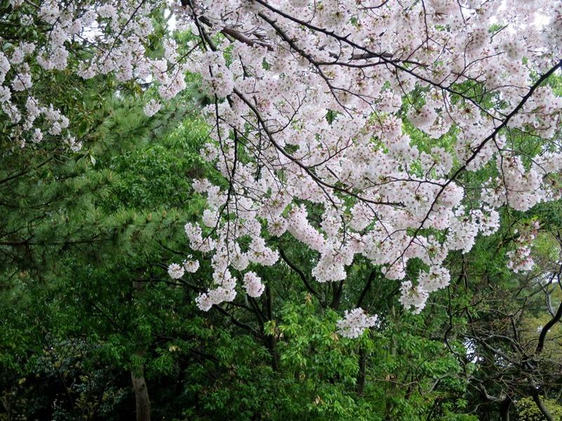 桜5170411