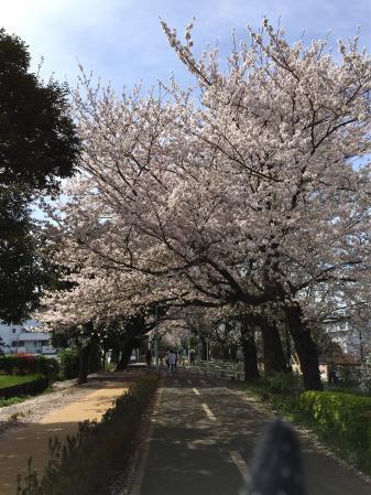 170413sakura.jpg