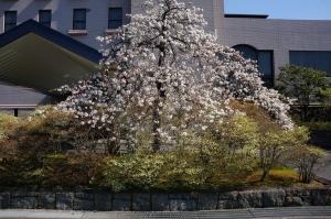 枝垂れ桜212