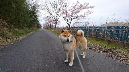 桜 2017.3.5-1
