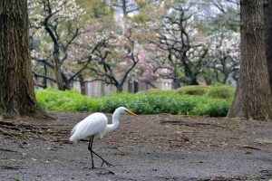 Great Egret and Plum Blossom