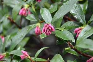 Winter Daphne Buds
