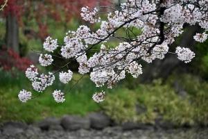 Sakura and Spring Maple