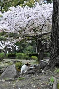 Sakura-chan The Cat and Sakura