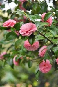 Camellia japonica 'Otome-Tsubaki'