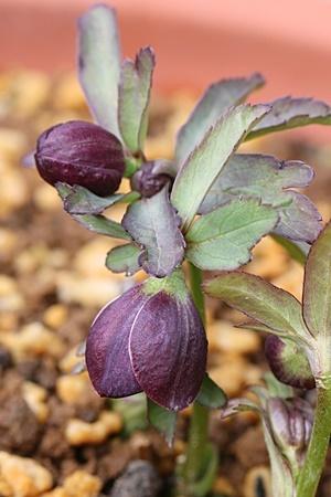 原種ヘレツェゴビス
