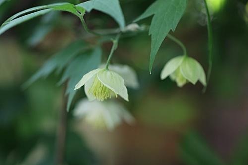 白花ハンショウヅル