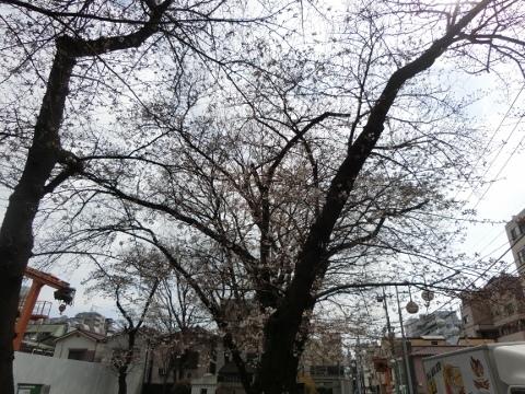 桜 019 (480x360)