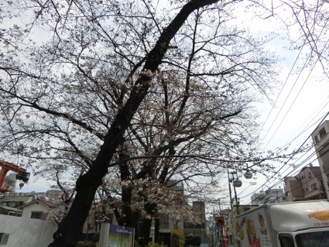 桜 020 (480x360)