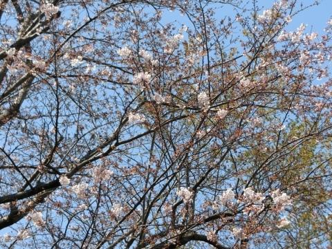 桜 007 (480x360)