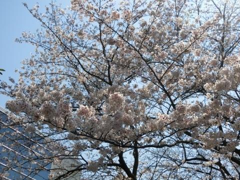 桜 012 (480x360)