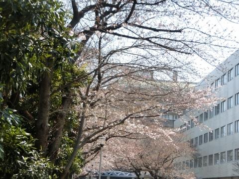 桜 017 (480x360)
