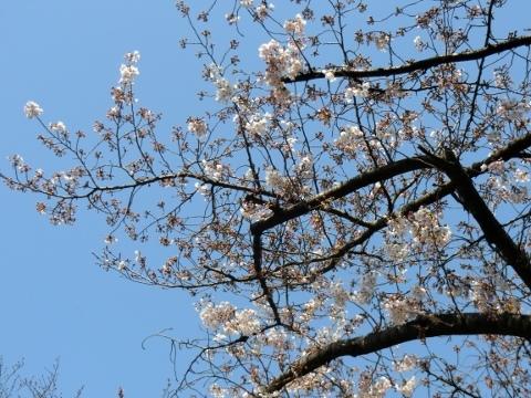 桜 018 (480x360)