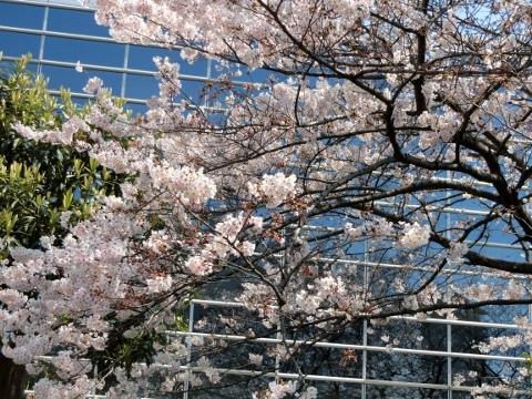 桜 025 (480x360)
