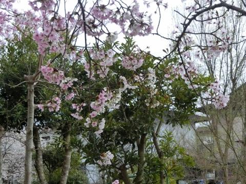 桜 006 (480x360)
