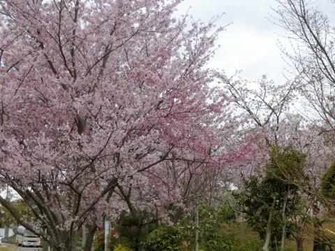 桜 009 (480x360)