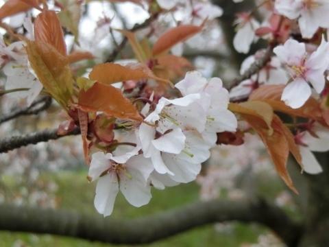桜 010 (480x360)