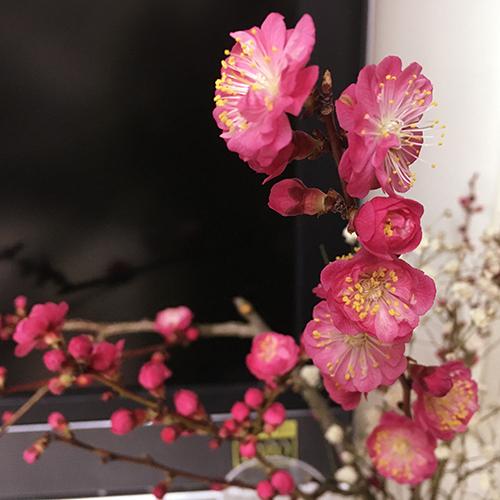 実家の梅は遅咲き
