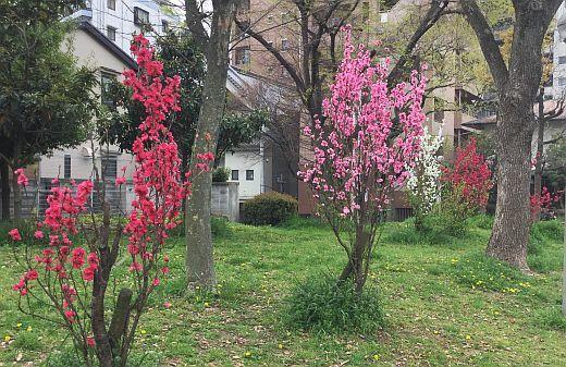 桃の花2017-04