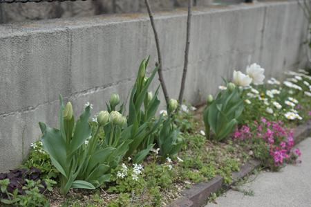 tulip20170409-1.jpg