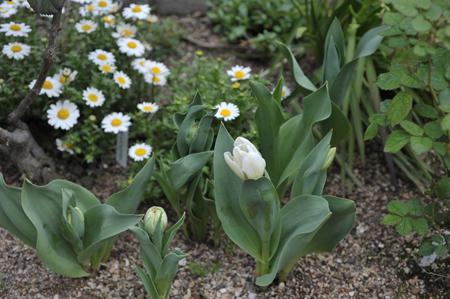 tulip20170409-3.jpg