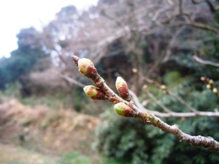 桜のつぼみ3(2017-03-21)
