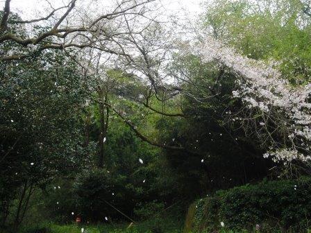 桜吹雪1(2017-04-12)