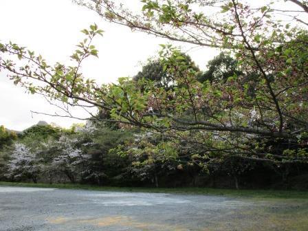 葉桜1(2017‐04‐16)