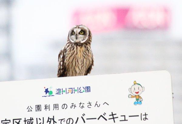 コミミズク2017-2-16-1-T淀川ー高槻市IMG_0033