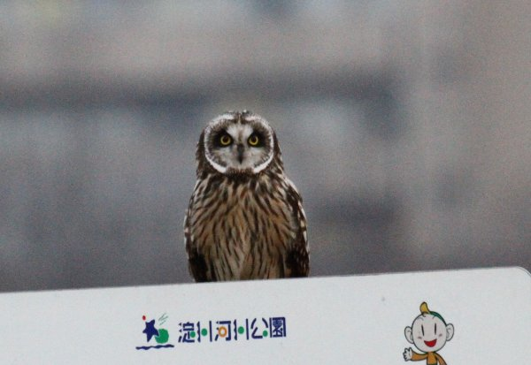 コミミズク2017-2-16-2-T淀川ー高槻市IMG_0096