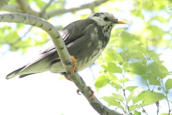 ムクドリ2017-4-28-2-T淀川ー摂津市ー鳥飼IMG_5844
