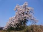 近所の桜(過去画像)