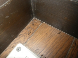 ヤマトシロアリ翅蟻