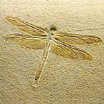 トンボの化石wikimedia