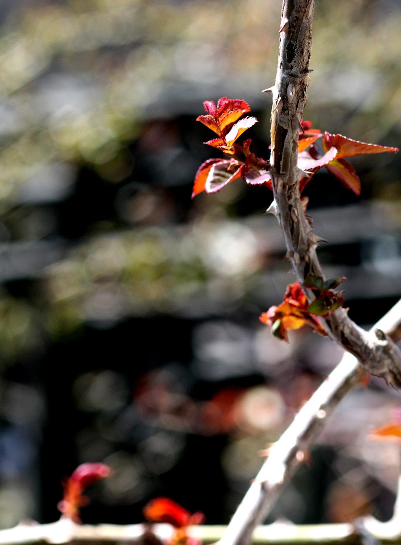 3月3日のバラ(6)