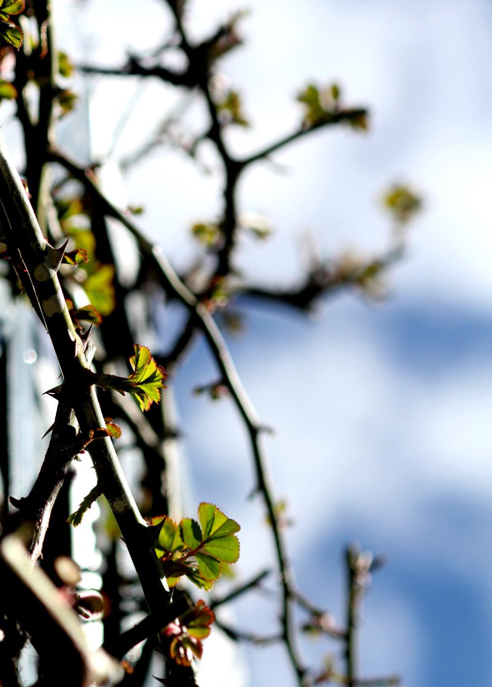 3月3日のバラ(8)