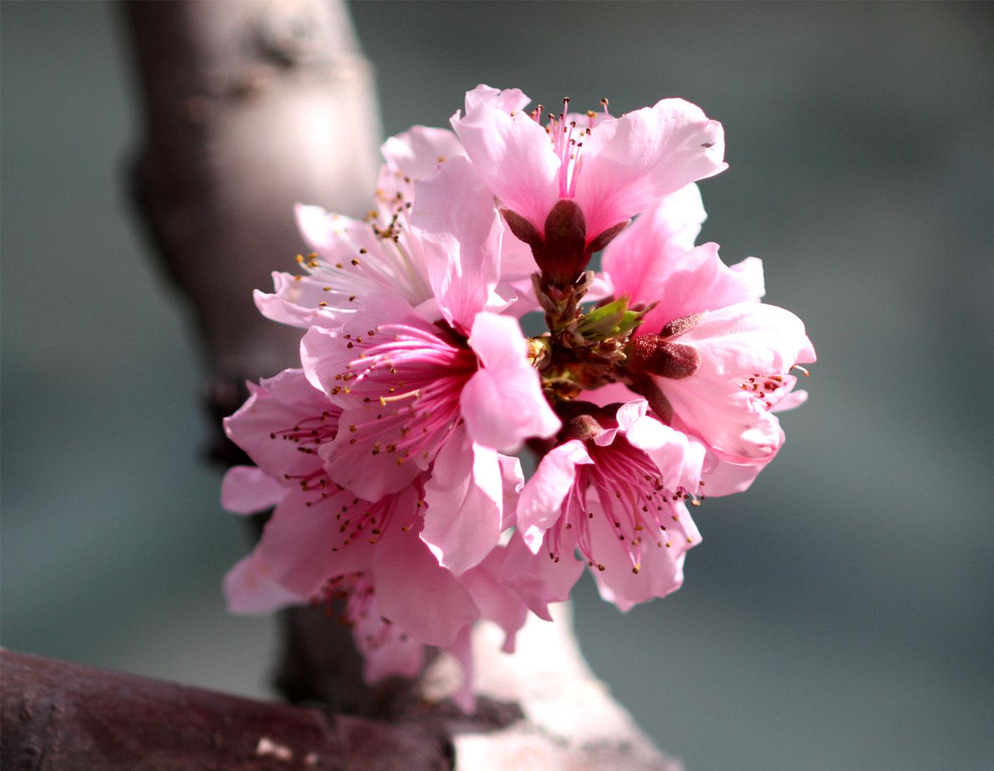 4月6日の桃とヒット(1)