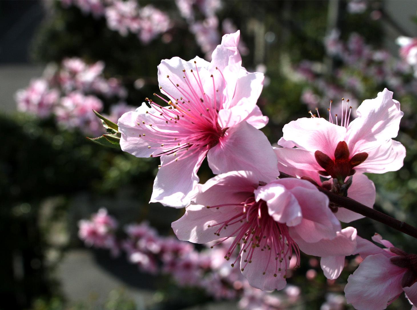 4月6日の桃とヒット(3)
