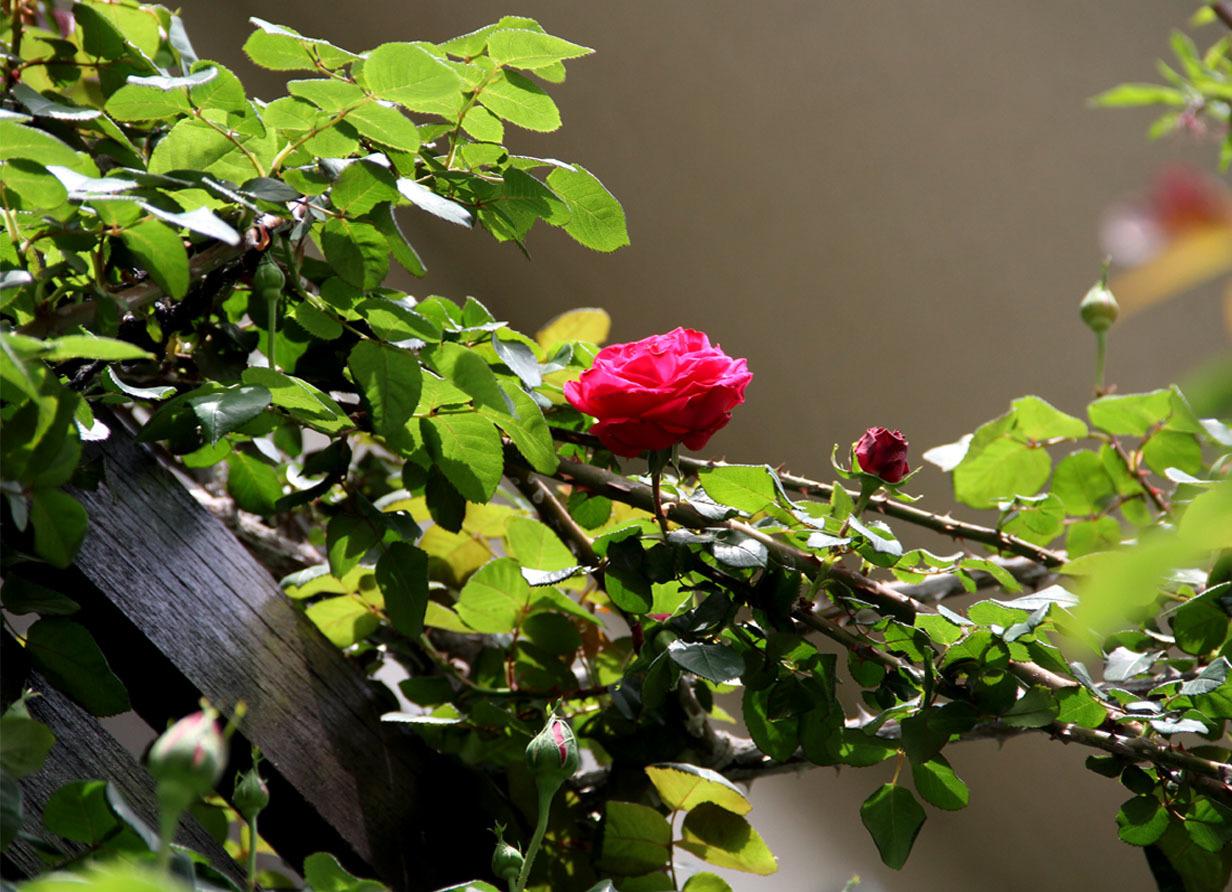 4月20日のバラ(5)