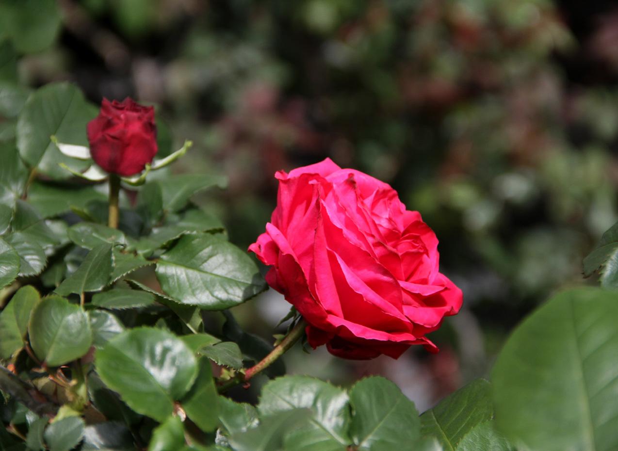 4月20日のバラ(6)