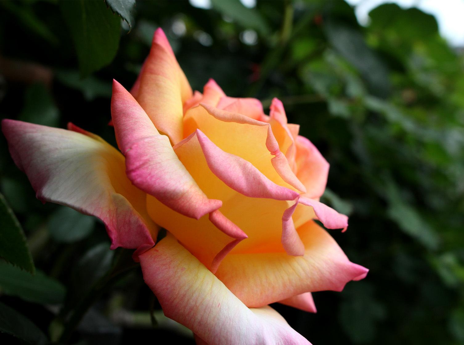 4月26日のバラ(1)