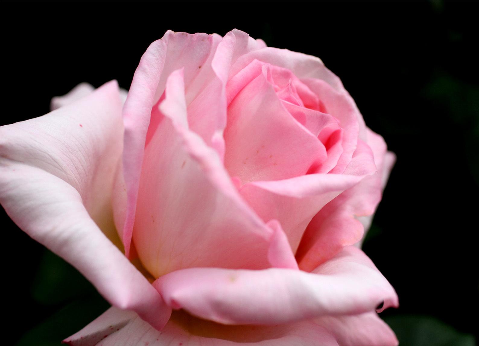 4月26日のバラ(2)