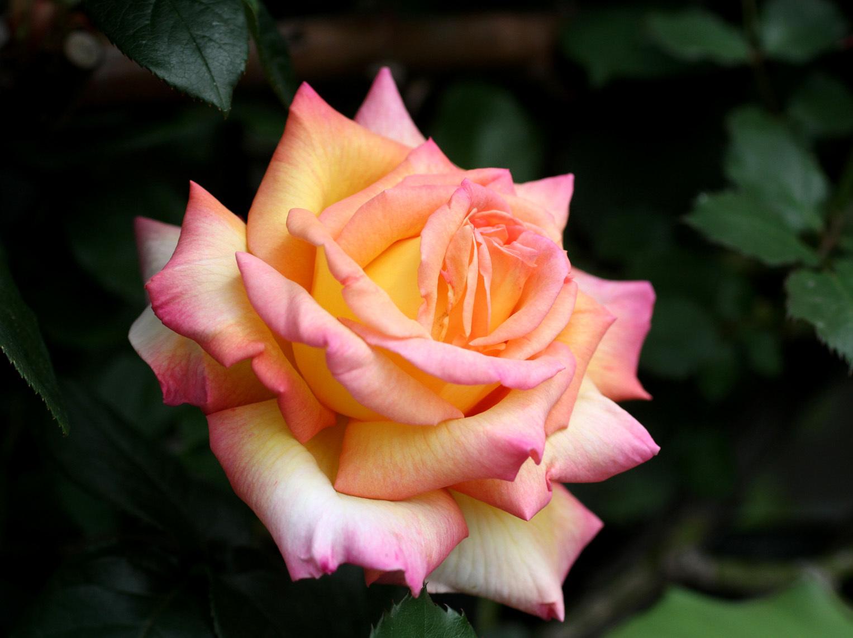 4月26日のバラ(5)